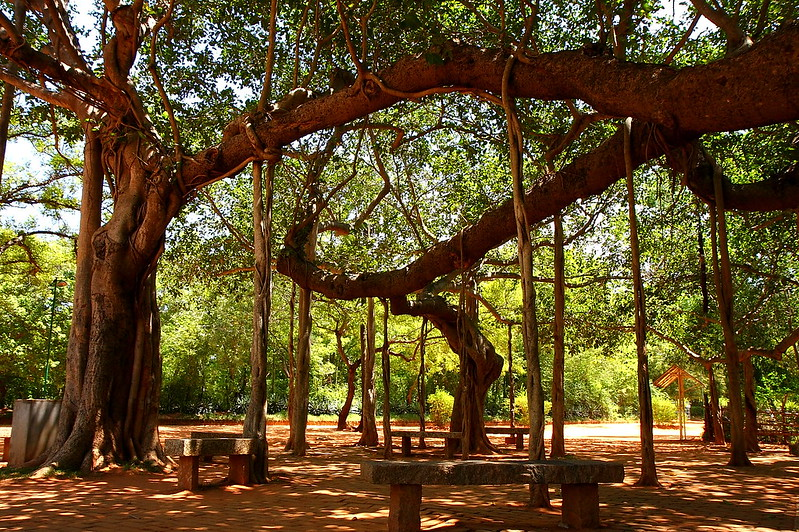 banyan_tree_auroville_by_olivier_on_flickr